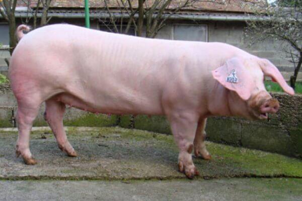 cerdo landrace peso y dimensiones
