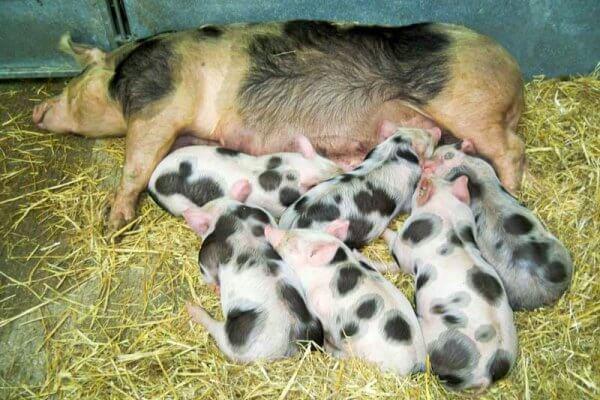 cerdo pietrain peso y tamaño