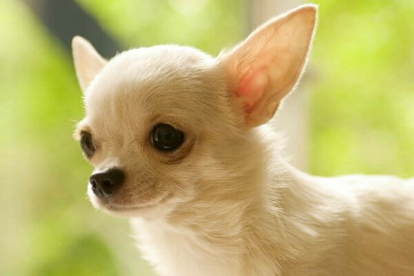 Origen de la raza Chihuahua