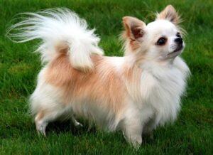 carácter Chihuahua