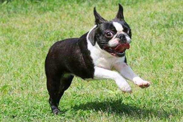 boston terrier negro y blanco