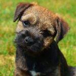 Origen Raza Border Terrier