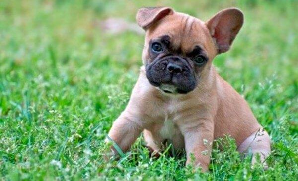esperanza de vida bulldog francés