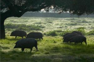 Tipos de cerdos en el mundo - Existen 108 razas de cerdos reconocidas oficialmente