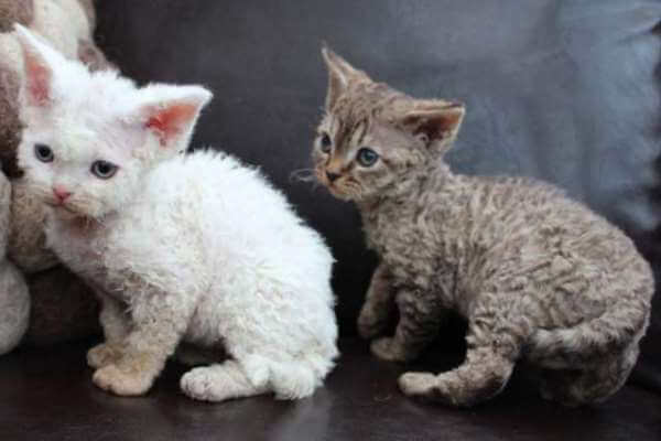 gato devon rex adopcion
