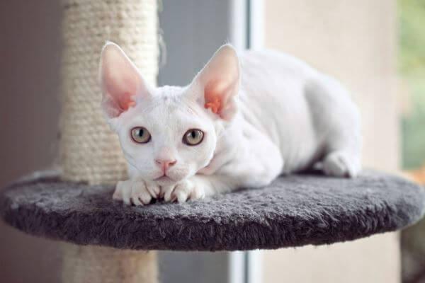 cómo cuidar un gato devon rex