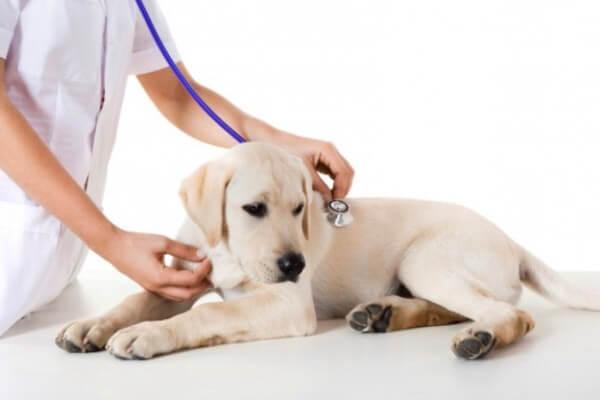 labrador retriever vacunación
