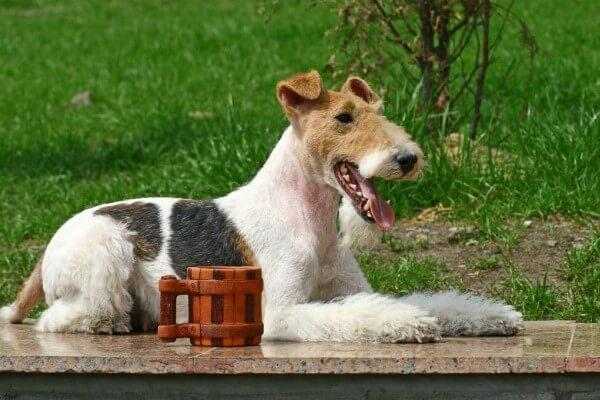 fox terrier mexico