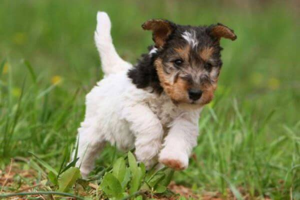 Origen raza fox terrier