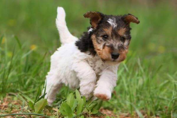 Origen raza fox terrier