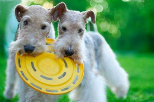 comportamiento fox terrier