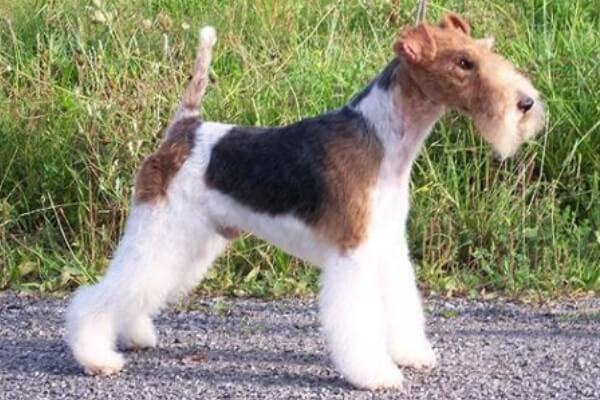 fox terrier acicalado