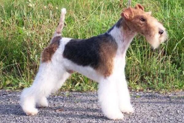 descripción fox terrier