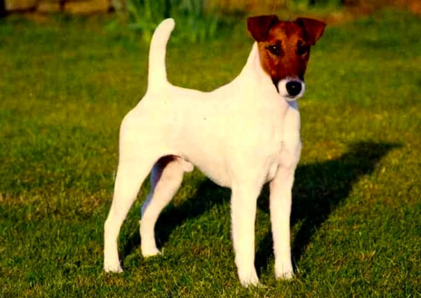 fox terrier criador