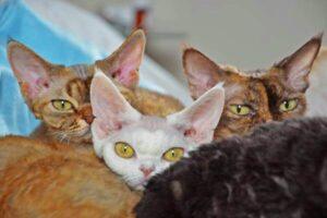 raza de gato devon rex colores
