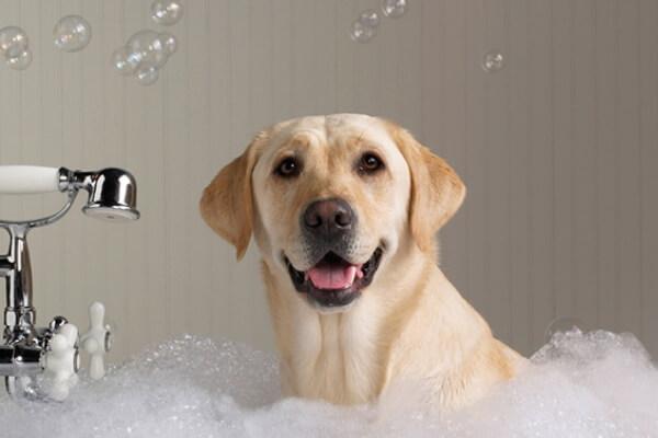 cada cuanto tiempo se baña un labrador retriever
