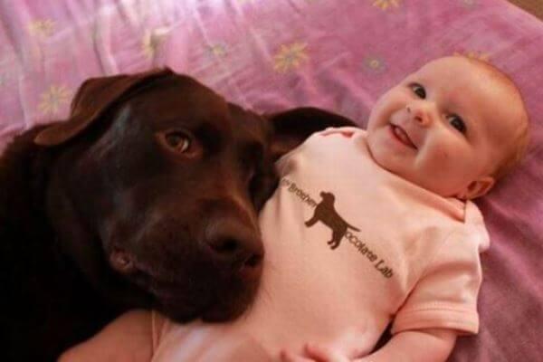 comportamiento perro labrador niños