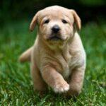 Origen Labrador Retriever