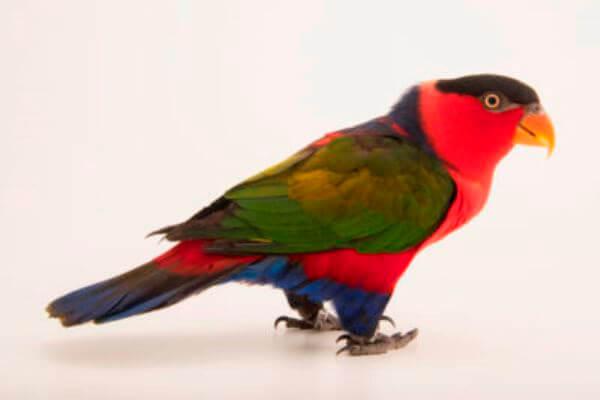 Lori tricolor descripción