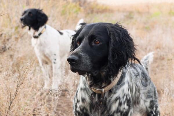 colores raza de perro münsterländer