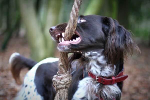 cómo educar a un perro münsterländer