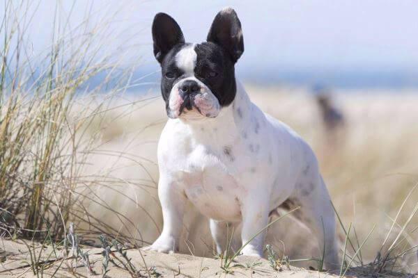taxonomía bulldog francés