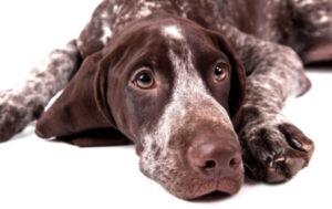 cuidados veterinarios braco alemán de pelo corto