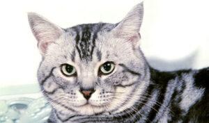 aspecto gato american shorthair