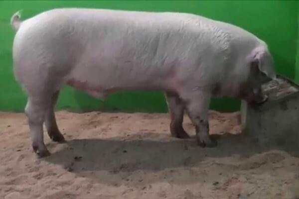tipo de cerdo landrace historia