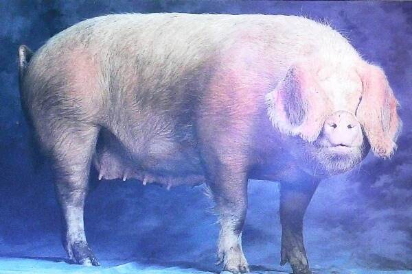 cerdo normando historia