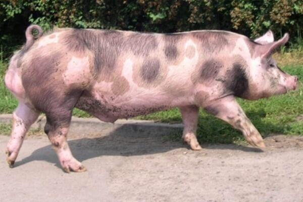 cerdo pietrain historia
