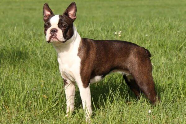 característica de la raza de perro boston terrier
