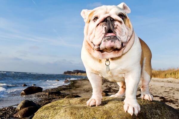 especie de perro bulldog inglés