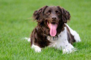 cómo es la raza de perro münsterländer