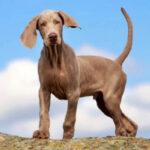 raza de perro weimaraner