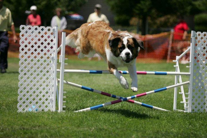 cómo adiestrar a un perro san bernardo