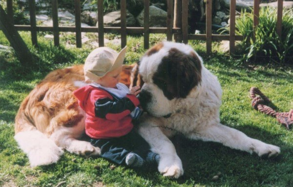 cuánto pesa perro san bernardo