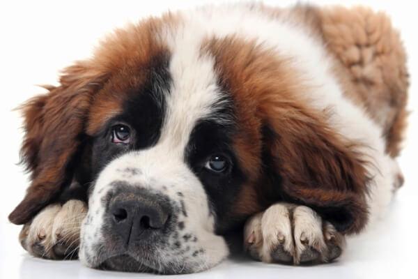 medidas perro san bernardo