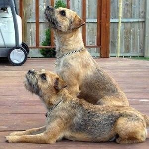 raza de perro terrier de la frontera