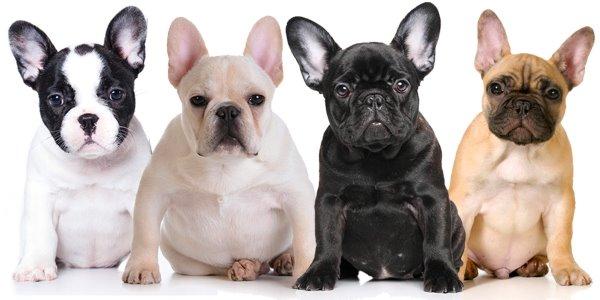 bulldog francés blanco