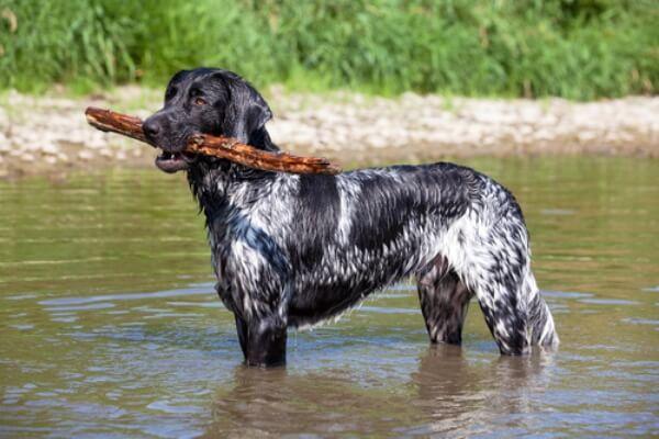 cuantas variedades existen del perro münsterländer