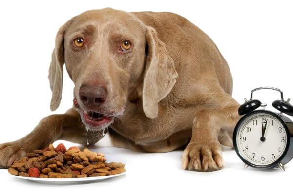 qué come el perro weimaraner
