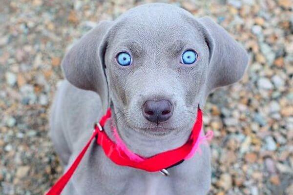 raza de perro weimaraner colores
