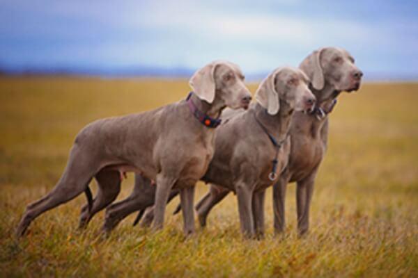 razas de perro de muestra Weimaraner