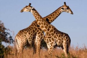 jirafas descripción
