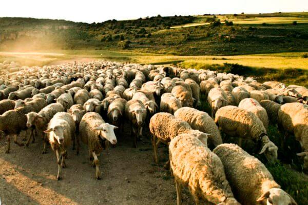 por qué existen las razas de ovejas