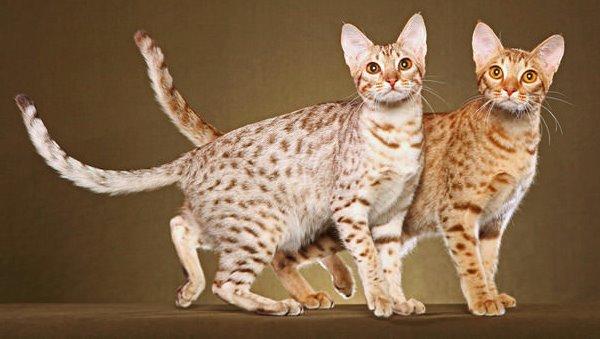cómo es el carácter del gato ocicat