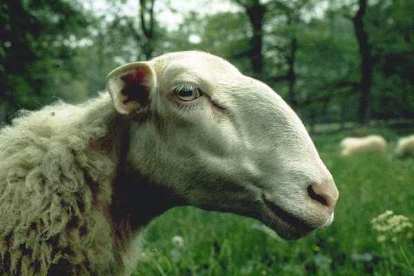 cómo es la oveja Limousine