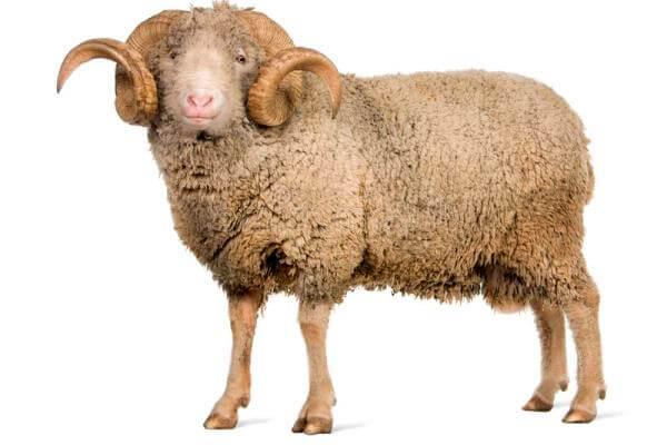 cómo es la oveja Île-de-France
