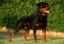 Raza de perro Rottweiler